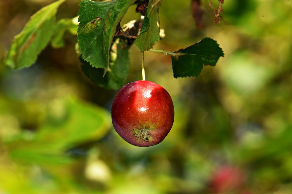 apple - pixabay