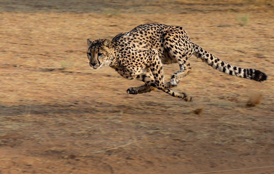 Cheetah - Pixabay.jpg