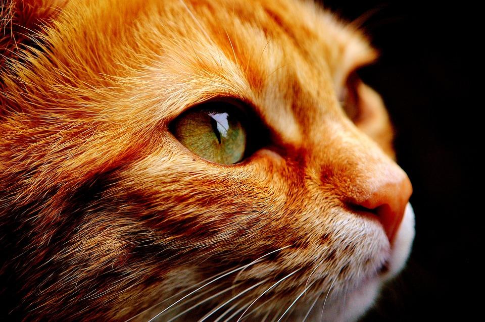 Crimson Cat - pixabay.jpg