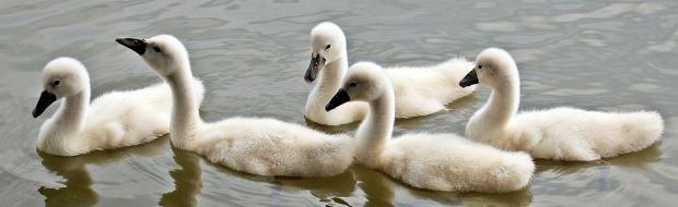swans-1436266_960_720